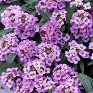 Alyssum Easter Bonnet Lavender Egmont Seed Company Ltd