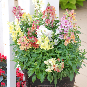 Antirrhinum Reminiscent Mix