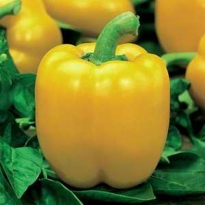 Capsicum Sunbright Yellow