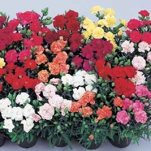 Carnation - Lillipot Mixed