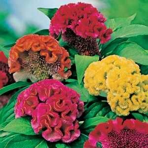Celosia The Brains Trust