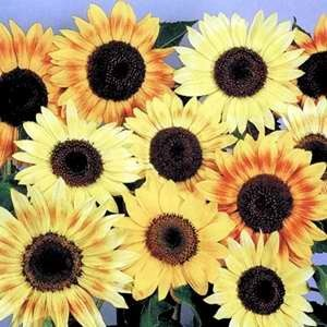 Helianthus Musicbox Mix