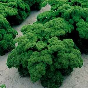 Seed Mat Parsley Triple Curled (8cm)