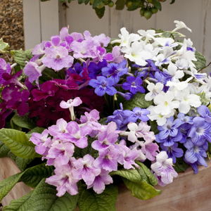 Streptocarpus Cape Cool Mixed