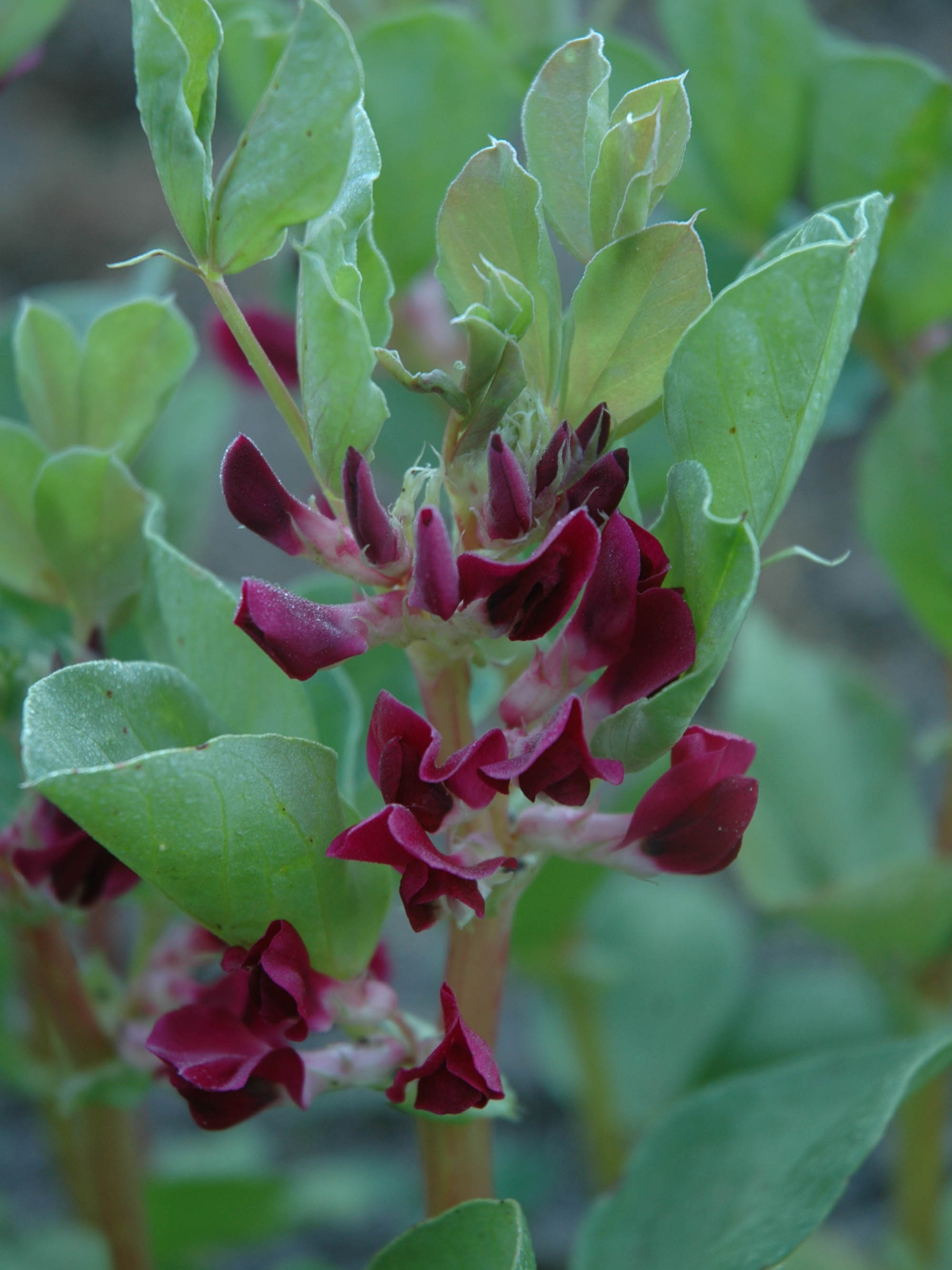 Beans Broad Hughey Crimson Flowered (BULK)