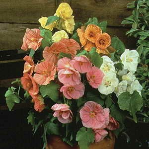 Abutilon Bella Mix F1 Hybrid