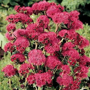 Ageratum Red Sea
