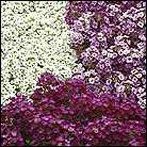 Alyssum Clear Crystal Mix