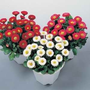 Bellis Perennis Galaxy Mixed