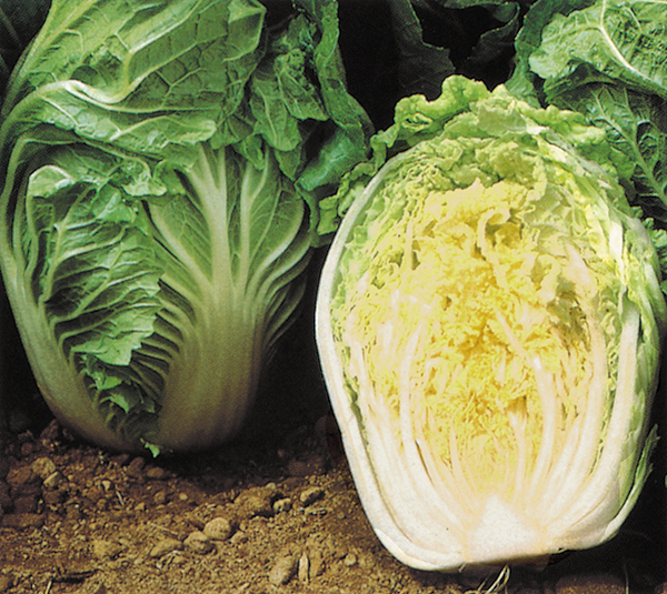 Cabbage - Chinese China Coast F1 Hybrid