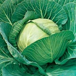 Cabbage Summercut F1 Hybrid