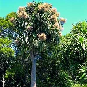Native NZ Plants: Cabbage Tree