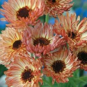 Calendula Bronze Beauty