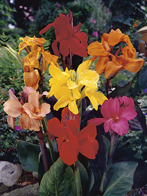 Canna Lily Tropical Mix
