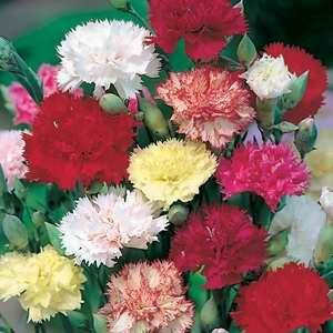 Carnation - Chabaud Mix