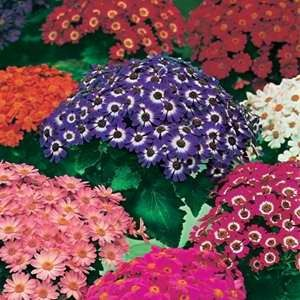 Cineraria Dwarf Bedding Mix