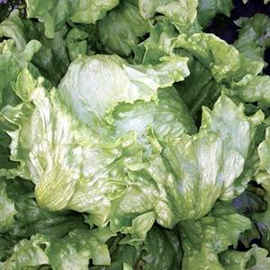 Lettuce Cool Season Winguard