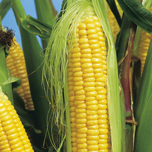 Corn Super Sweet NZ Yellow Bulk Pack 500 Seeds