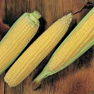 Corn Xtra Tender Yellow F1 Hybrid