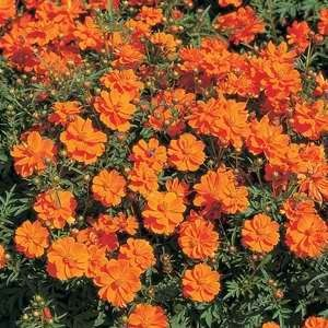 Cosmos Cosmic Orange