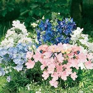 Delphinium - Summer Colours