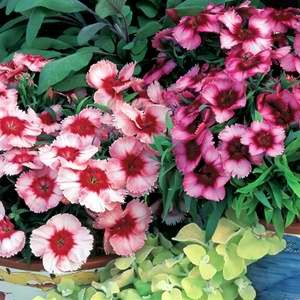 Dianthus Super Parfait Mix