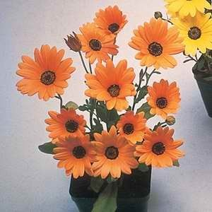 Dimorphotheca Spring Flash Orange