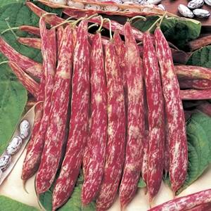 Bean Borlotti Red Rooster
