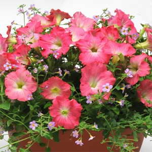 Fuseable Blue Dawn (Bacopa & Petunia)