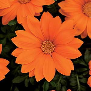 Gazania New Day Clear Orange F1 Hybrid