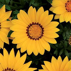 Gazania New Day Yellow F1 Hybrid