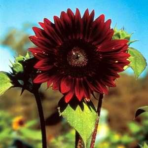 Helianthus Moulin Rouge F1 Hybrid