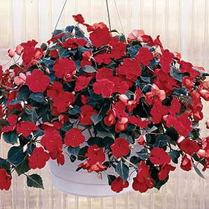 Impatiens Expo Red F1 Hybrid