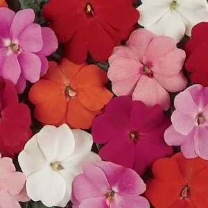 Impatiens New Guinea Divine Mix F1 Hyb