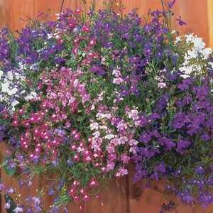 Lobelia Regatta Mix