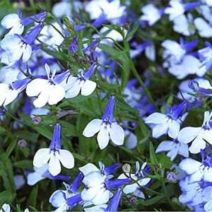 Lobelia - Riviera Blue Splash