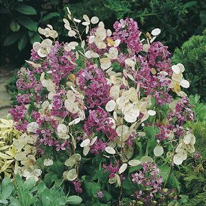 Lunaria Honesty (Silver Dollar)