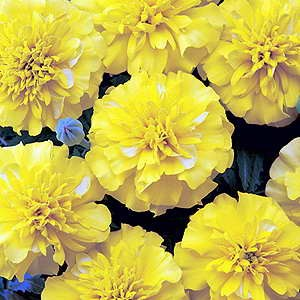 Marigold Bonanza Bright Yellow