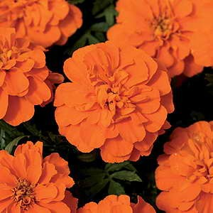 Marigold Bonanza Deep Orange