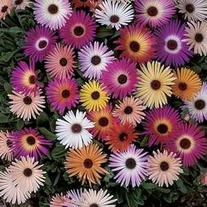 Mesembryanthemum Harlequin Mix