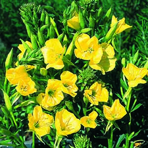 Oenothera Evening Primrose