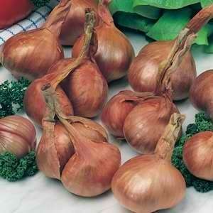 Onion - Shallot Ambition F1 Hybrid