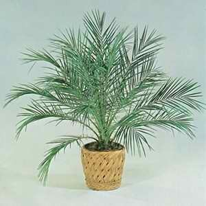 Palm - Dwarf Date Palm
