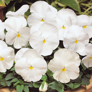 Pansy Matrix Clear White F1 Hybrid