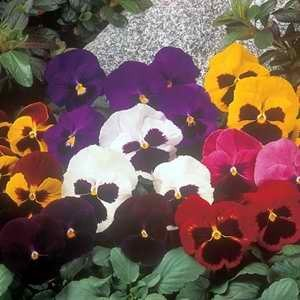 Pansy Matrix Blotch Mix F1 Hybrid