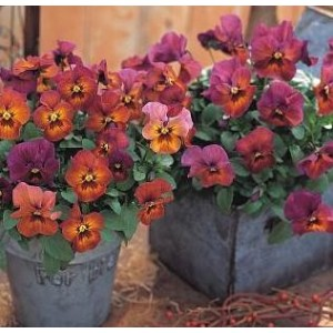 Pansy Nature Mulberry Shades F1 Hybrid