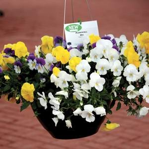 Pansy Cool Wave Mix F1 Hybrid