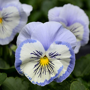Pansy Promise Blue White Whiskers F1 Hybrid