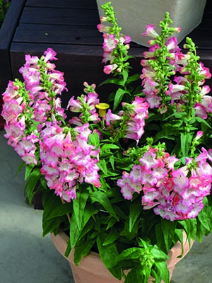 Penstemon Arabesque Pink F1 Hybrid