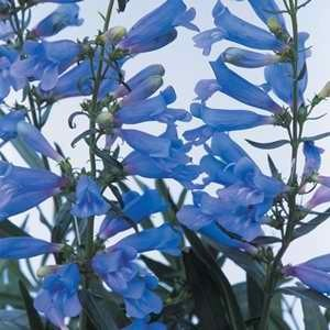 Penstemon - Electric Blue
